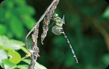 好きな昆虫について、図鑑・本などで調べる